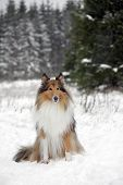 foto of collie  - Rough Collie or Scottish Collie over winter nature background - JPG