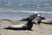 image of yawn  - Sea Lions on the beach along the Highway 1 from San Francisco to Los Angeles - JPG