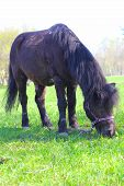 image of pony  - Brown pony grazing on fresh green grass of spring park