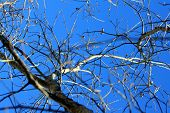 stock photo of acorn  - Looking up at the blue sky through the bare branches and acorns of a leafless tree - JPG