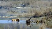 foto of tigers  - wild bengal tiger crossing the river with a prey - JPG