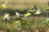 stock photo of parakeet  - Psittacula cyanocephala - JPG