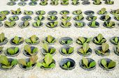 stock photo of hydroponics  - Row of young green cos lettuce - JPG