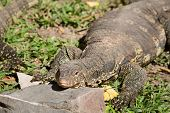 pic of giant lizard  - Komodo Dragon the largest lizard in the world - JPG