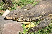 picture of giant lizard  - Komodo Dragon the largest lizard in the world - JPG