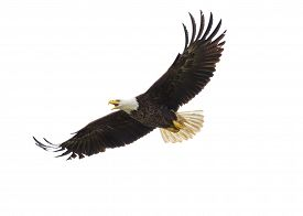 foto of eagles  - Majestic Texas Bald Eagle in flight against a white background - JPG