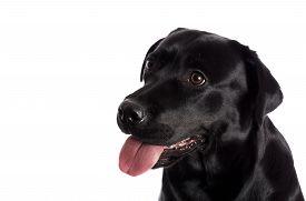 foto of labrador  - Pretty Labrador Retriever in front of white Background shot - JPG