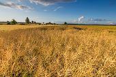 pic of rape-field  - Landscape of rape field at summer - JPG