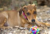 foto of toy dogs  - Dog and toy outdoors with cute puppy dog eyes - JPG