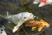 pic of koi fish  - Gold white black and multicolored Koi fish in a pond at a local plaza - JPG