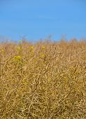 pic of rape-field  - Field of ripe mature colza rape plant with some green blooming colza and yellow flowers under bright day blue sky - JPG