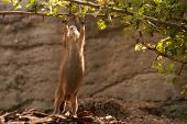 pic of gopher  - Prairie Dog gopher trying to reach branch above - JPG