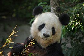 stock photo of panda  - Giant panda  - JPG
