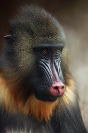 image of jungle animal  - Mandrill  - JPG