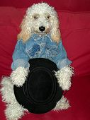 stock photo of cockapoo  - stylish fluffy dog with jean jacket and a gaucho Hat - JPG
