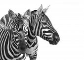 The Plains Zebra, Equus quagga is big mammal from Africa. Animals on white background. Wildlife and  poster