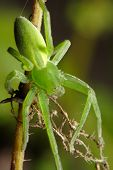 stock photo of huntsman spider  - The green huntsman spider  - JPG