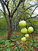 picture of nacked  - apple on branch of the aple trees - JPG
