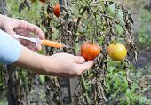 Scientist Injecting Chemicals Into Red Tomato Gmo. Concept For Chemical Gmo  Gm Food. Genetically Mo poster