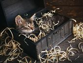 Striped Cat In A Wooden Chest. . Gray Kitty poster