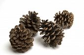 image of pine cone  - isolated large pine cones - JPG