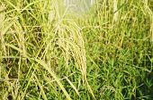 Rice Paddy Growing On Branch In Farm Thailand poster