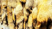Closeup Of The Red Fox Furs. Many Fox Furs With His Head For Sale In Handcrafted Leather Good. Fur T poster