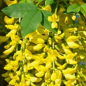 Common Laburnum (laburnum Anagyroides), Close-up Of The Blooming Tree During Summertime poster