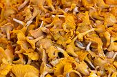 Chanterelle Mushrooms.