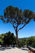 pic of pinus  - Maritime Pine curved tree - JPG