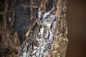 foto of screech-owl  - An Eastern Screech Owl in a hallowed out tree. Blending into the surroundings.