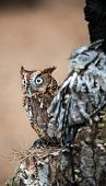 picture of screech-owl  - An Eastern Screech Owl in a hallowed out tree. Blending into the surroundings.