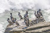 Spotted Shags On A Coastal Rock