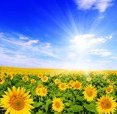 Постер, плакат: Поле подсолнухов и голубого неба солнце