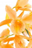 Closeup Of Orange Dendrobium Flowers