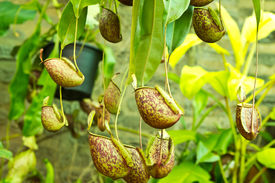 pic of nepenthes-mirabilis  - Tropical pitcher plants or Monkey cups in garden - JPG