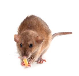 picture of fancy mouse  - Fancy rat  - JPG