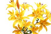 stock photo of stargazer-lilies  - Bouquet of yellow lilies - JPG