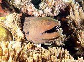 picture of raja  - Giant Moray Eel  - JPG