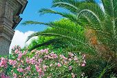 Oleanders And Palm