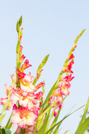 foto of gladiola  - Gladiola flowers and blue sky in background - JPG