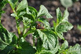 image of coitus  - coitus of two Colorado beetles on potato bush - JPG