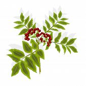 image of rowan berry  - Twig rowan berry with leaves and berries vector illustration without gradients - JPG