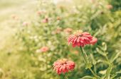 stock photo of zinnias  - Zinnia flower or Zinnia violacea in the garden nature and park vintage - JPG