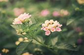 foto of lantana  - Lantana or Wild sage or Cloth of gold or Lantana camara flower in the garden vintage - JPG