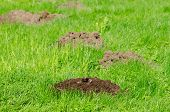 pic of working animal  - Mole hills on lawn grass and animal head in soil - JPG