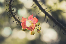 foto of cannonball-flower  - Cannonball flower and green background in the garden or nature park vintage - JPG