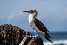 picture of boobies  - A blue-footed booby in the Galapagos Islands ** Note: Soft Focus at 100%, best at smaller sizes - JPG