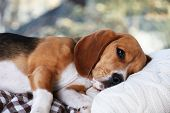 pic of hound dog  - Tired beagle dog on pillow - JPG