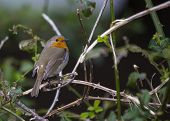image of red robin  - Robin Red Breast On Branch in Ireland - JPG